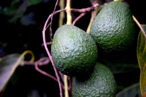 Avocados 4361272 1280